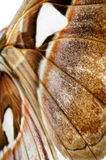Atlas Moth wings detail - Attacus atlas Stock Photo