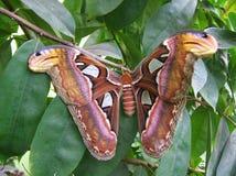 Atlas Moth Royalty Free Stock Photography
