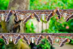 Atlas Moths Stock Image