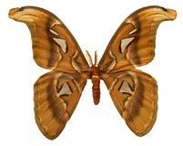 Atlas-Motte stockbild