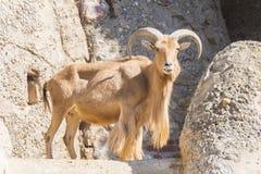 Atlas Muflon die, Ammotragus-lervia rusten Royalty-vrije Stock Foto