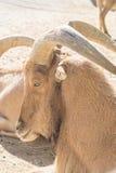 Atlas Muflon die, Ammotragus-lervia rusten Royalty-vrije Stock Foto's