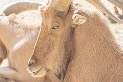 Atlas Muflon que descansa, lervia do Ammotragus Foto de Stock Royalty Free