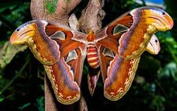Atlas-Schmetterling Stockfotografie