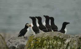 Atllantic Puffin and Razorbills Royalty Free Stock Photo