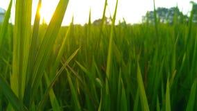 atmósfera del arroz por la tarde Imagenes de archivo
