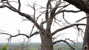 Atmósfera mística de la escena Ramas torcidas de un árbol muerto viejo en un movimiento del bosque de la cámara en el resbalador  almacen de metraje de vídeo