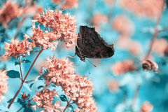 Atmosfer photo of a butterfly and a bumblebee. Butterfly collects nectar from flowers mint. Butterfly sitting on a flower, a bumblebee flies in the background Royalty Free Stock Image
