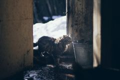 An atmosperic scene in the village with an old cat entering an old house with the wet floor and a bucket in the beautiful li. An atmosperic scene in the village Royalty Free Stock Image