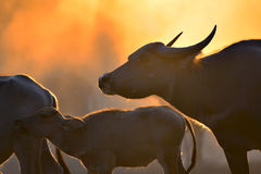 The atmosphere is beautiful during sunset. With Fields filled with herds of buffalo Stock Photos
