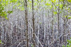 Many slim trees in mangrove forest, those trees have many branches, eco nature tourism in sunny bright day. The atmosphere in mangrove forest when mud is so stock images