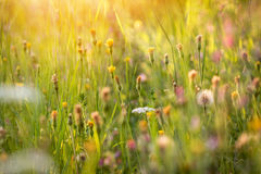 Atmosphere of summer flowering meadow Royalty Free Stock Photography