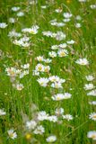 White large wild daisies in a meadow in the sunlight. Atmospheric bouquet of wild flowers and dasy create a dynamic contrast with clours during a spring scene in stock images