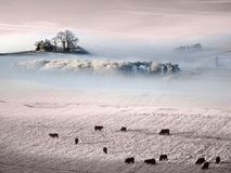 Atmospheric frozen Prairie. Beautiful  Frozen Prairie with trees in stunning evocative mists and livestock grazing as the sun sets on this tranquile scene Royalty Free Stock Image