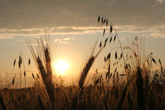 Atmospheric harvesting field at sunset Stock Images