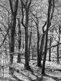 Atmospheric monochrome woodland with black beech trees Stock Image
