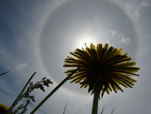 Type of atmospheric optical phenomenon halo through the prism of a dandelion. royalty free stock image
