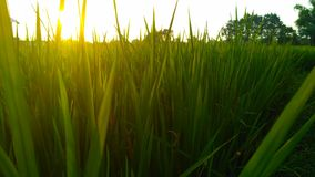 atmósfera del arroz por la tarde Fotos de archivo libres de regalías