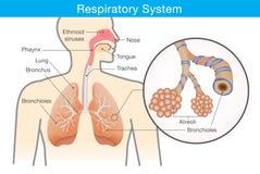 Atmungssystem des Menschen lizenzfreie abbildung