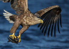 Ato de agarrar da águia de mar Fotos de Stock