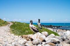 Atoba birds in Abrolhos archipelago, Bahia, Brazil stock photo