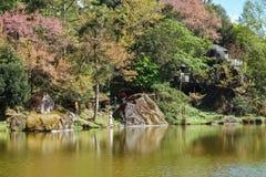 Atorchidagriculture tailandês de sakura da flor de cerejeira, ChaingMai, Tailândia Foto de Stock Royalty Free