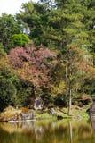 Atorchidagriculture tailandês de sakura da flor de cerejeira, ChaingMai, Tailândia Imagens de Stock