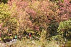 Atorchidagriculture thaïlandais de Sakura de fleurs de cerisier, ChaingMai, Thaïlande Photographie stock