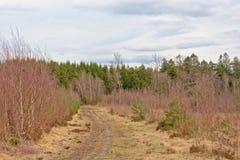 Atormente a través de un bosque soleado con el pino y de árboles de abedul jovenes en el campo valón Fotos de archivo