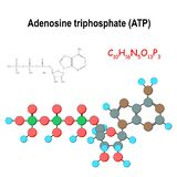 ATP. Structural chemical formula and model of adenosine triphosphate. C10H16N5O13P3. Vector diagram for educational, medical, biological, and scientific use stock illustration
