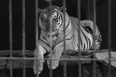 Atrás do tigre das barras imagem de stock