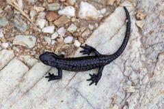 Atra de Salamandra de salamandre alpine Photographie stock libre de droits