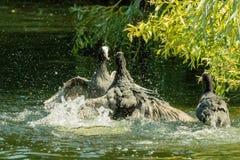 Atra för EurasiansothönaFulica fotografering för bildbyråer