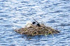 Atra van koetenfulica gebruikte plastic zakken en polytheen om de nestbouw te steunen royalty-vrije stock foto