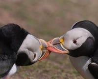 Atracar-se dos papagaio-do-mar atlânticos Fotografia de Stock