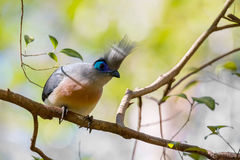 Atractive bird Crested coua Coua cristata. Crested coua Coua cristata, very attractive Madagascar birds. The diet consists insects, fruits, berries, seeds Royalty Free Stock Photos