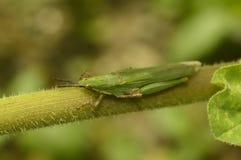 Atractomorpha sinensis Bolvar blisko Sangli Zdjęcia Stock