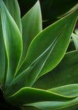 Atrakcyjne flance agawa Azores Obrazy Stock