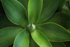 Atrakcyjne flance agawa Azores Obraz Royalty Free