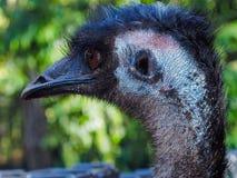 Atrakcyjny Nakładający emu w profilu Obrazy Stock
