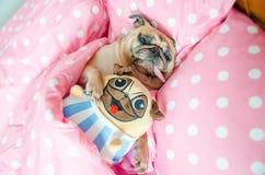 Atrakcyjny szczeniaka mopsa psa dosypiania odpoczynek dobrze w łóżkowym przytulenia dziecku obraz stock