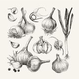 Atrament rysująca kolekcja czosnek Zdjęcie Stock