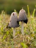 Atramentarius-champignons de couche de Coprinus Photos libres de droits