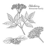 Atramentu elderberry ręka rysujący nakreślenie ilustracji