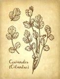 Atramentu nakreślenie cilantro royalty ilustracja
