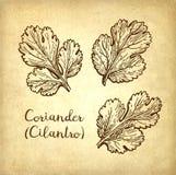 Atramentu nakreślenie cilantro ilustracja wektor