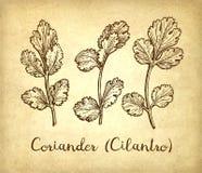 Atramentu nakreślenie cilantro ilustracji