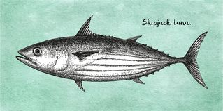 Atramentu nakreślenie Skipjack tuńczyk Ilustracji