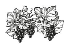Atramentu nakreślenie winogrona ilustracja wektor