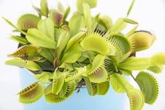 Atrapamoscas de Venus - Dionaea Muscipula Imágenes de archivo libres de regalías